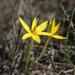 Empodium plicatum - Photo (c) Jacques van der Merwe, algunos derechos reservados (CC BY-SA)