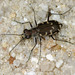 Bronzed Tiger Beetle - Photo (c) Patrick Coin, some rights reserved (CC BY-NC-SA)