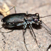 Punctured Tiger Beetle - Photo (c) A. Jaszlics, some rights reserved (CC BY-NC)