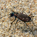 Twelve-spotted Tiger Beetle - Photo (c) Brad Smith, some rights reserved (CC BY-NC)