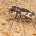 Cicindela formosa - Photo (c) Ted MacRae,  זכויות יוצרים חלקיות (CC BY-NC-ND)