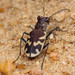 Eastern Sand Tiger Beetle - Photo (c) Ted MacRae, some rights reserved (CC BY-NC-ND)