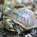 Ornate Box Turtle - Photo (c) Eric Osmundson, some rights reserved (CC BY-NC-SA)