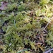 Oregon Beaked Moss - Photo (c) kem_luther, some rights reserved (CC BY-SA)