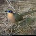 Coua cursor - Photo (c) Alan Harper, alguns direitos reservados (CC BY-NC)