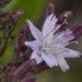 Munzothamnus blairii - Photo (c) John Game,  זכויות יוצרים חלקיות (CC BY-NC-SA)