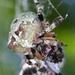 Araneus bicentenarius - Photo (c) Glen Peterson, algunos derechos reservados (CC BY-NC-SA)