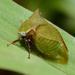 Stictocephala brevitylus - Photo (c) Margarita Lankford, alguns direitos reservados (CC BY-NC)