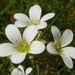 Saxifraga granulata - Photo (c) Peter aka anemoneprojectors,  זכויות יוצרים חלקיות (CC BY-SA)