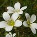 Saxifraga granulata - Photo (c) Peter aka anemoneprojectors, μερικά δικαιώματα διατηρούνται (CC BY-SA)