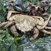 Helmet Crab - Photo (c) pushtheriver, some rights reserved (CC BY-NC)