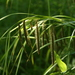 Fringed Sedge - Photo (c) dogtooth77, some rights reserved (CC BY-NC-SA)