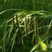 Carex crinita - Photo (c) dogtooth77, algunos derechos reservados (CC BY-NC-SA)