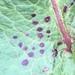 Ramularia rubella - Photo (c) Susan J. Hewitt, osa oikeuksista pidätetään (CC BY-NC)