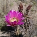 Echinocereus fendleri fendleri - Photo (c) eastm, some rights reserved (CC BY-SA)