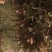 Gelidiales - Photo (c) grenshaw, algunos derechos reservados (CC BY-NC)
