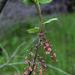 Ribes triste - Photo (c) aarongunnar, alguns direitos reservados (CC BY)