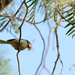 Psaltriparus minimus melanotis - Photo (c) aguilargm, algunos derechos reservados (CC BY-NC)