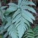 Tectaria fuscipes - Photo (c) 蕭明昇,  זכויות יוצרים חלקיות (CC BY-NC)