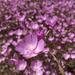 Clarkia cylindrica cylindrica - Photo (c) Eric Wrubel, algunos derechos reservados (CC BY-NC)