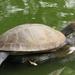 Tortuga del Río Magdalena - Photo (c) Daniel Hincapie, algunos derechos reservados (CC BY)
