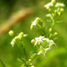 Galium saxatile - Photo (c) Dave Rogers, algunos derechos reservados (CC BY-NC-SA)