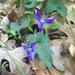Viola subsinuata - Photo (c) djm, algunos derechos reservados (CC BY-NC)