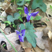 Early Blue Violet - Photo (c) djm, some rights reserved (CC BY-NC)