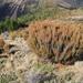 Dracophyllum longifolium - Photo (c) memopob, μερικά δικαιώματα διατηρούνται (CC BY-NC)