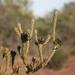 Leucadendron thymifolium - Photo (c) Jacques van der Merwe, algunos derechos reservados (CC BY-SA)