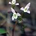 Triphora trianthophoros - Photo (c) NC Orchid, μερικά δικαιώματα διατηρούνται (CC BY-NC)