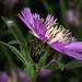 Centaurea pullata - Photo (c) Salomé, algunos derechos reservados (CC BY-NC-SA)
