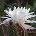 Nyctocereus serpentinus - Photo (c) Dra. Laura Elvia Uribe Lara,  זכויות יוצרים חלקיות (CC BY-NC)