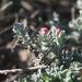 Helichrysum stellatum - Photo (c) Jacques van der Merwe, algunos derechos reservados (CC BY-SA)