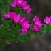 Boronia serrulata - Photo (c) eyeweed, osa oikeuksista pidätetään (CC BY-NC-ND)