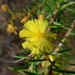 Hooked Wattle - Photo (c) John Tann, some rights reserved (CC BY)