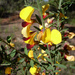 Variable Bossiaea - Photo (c) John Tann, some rights reserved (CC BY)