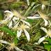 Clematis aristata - Photo (c) Tony Rodd,  זכויות יוצרים חלקיות (CC BY-NC-SA)