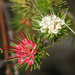 Darwinia fascicularis - Photo (c) Philip Bouchard, algunos derechos reservados (CC BY-NC-ND)
