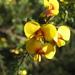 Dillwynia - Photo (c) cskk,  זכויות יוצרים חלקיות (CC BY-NC-ND)