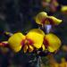 Dillwynia retorta - Photo (c) Alfred Sin, algunos derechos reservados (CC BY-NC-SA)