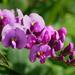 Hardenbergia violacea - Photo (c) James Gaither, algunos derechos reservados (CC BY-NC-ND)