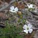 Mitrasacme polymorpha - Photo (c) eyeweed, osa oikeuksista pidätetään (CC BY-NC-ND)