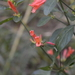 Uruguayan Firecracker Plant - Photo (c) Gaby, some rights reserved (CC BY-NC)