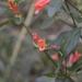 Dicliptera squarrosa - Photo (c) Gaby,  זכויות יוצרים חלקיות (CC BY-NC)