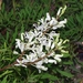 Crinkle Bush - Photo (c) eyeweed, some rights reserved (CC BY-NC-ND)