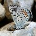 Euphilotes ancilla - Photo (c) Pacific Southwest Region U.S. Fish and Wildlife Service, osa oikeuksista pidätetään (CC BY)