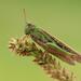 Slender Green-winged Grasshopper - Photo (c) Ján Svetlík, some rights reserved (CC BY-NC-SA)