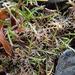 Leptinella maniototo - Photo ללא זכויות יוצרים