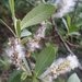 Sitka Willow - Photo (c) Paul Norwood, some rights reserved (CC BY-NC)